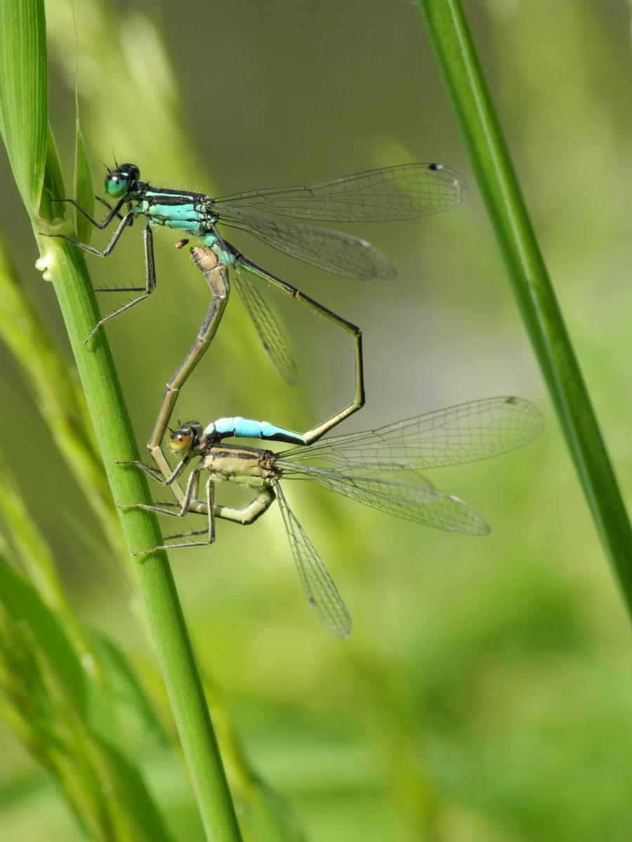 Große Pechlibellen, Paarung