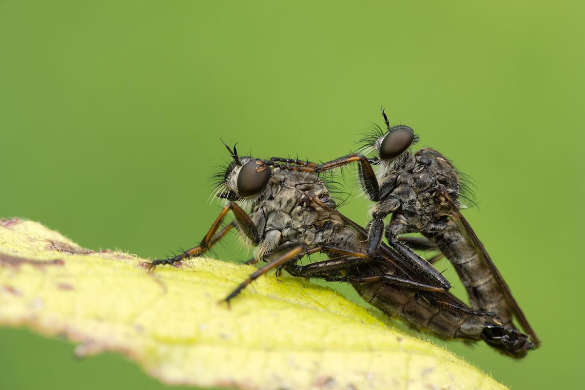 Raubfliegen, Paarung