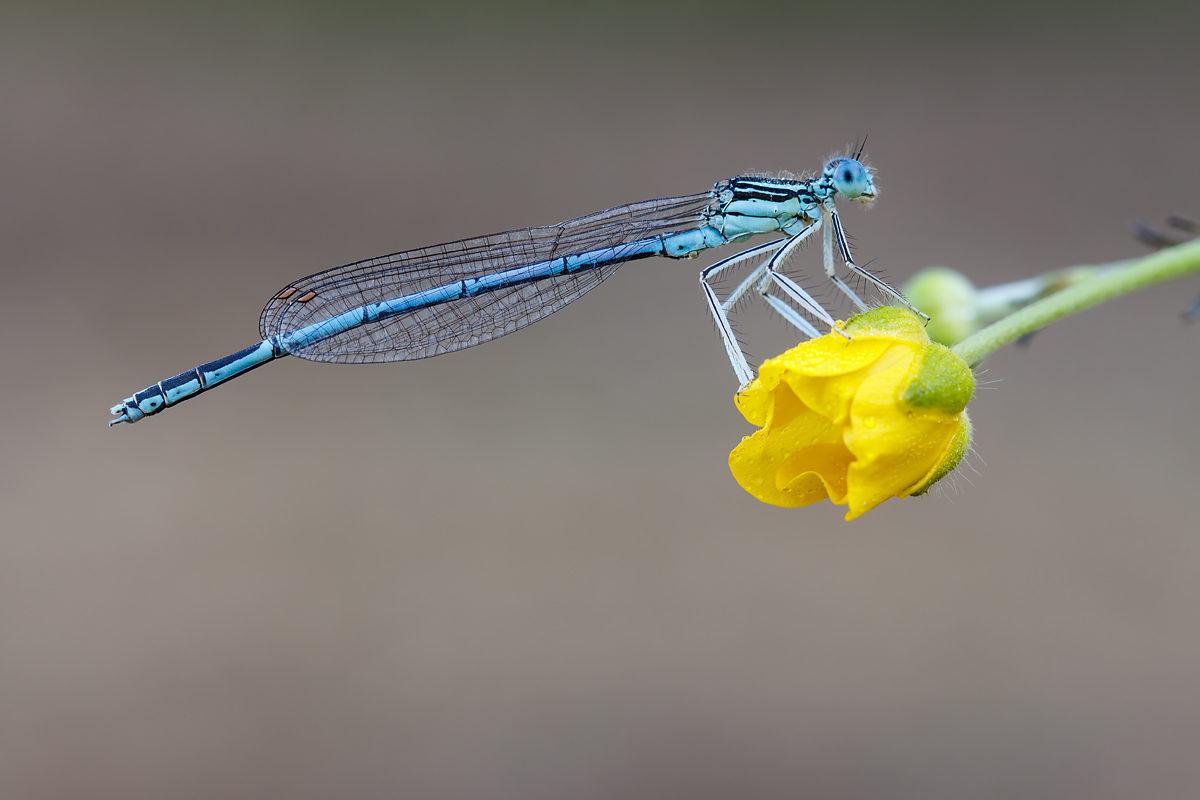 Blaue Federlibelle, männlich