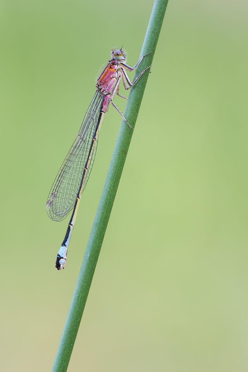 Große Pechlibelle, weiblich