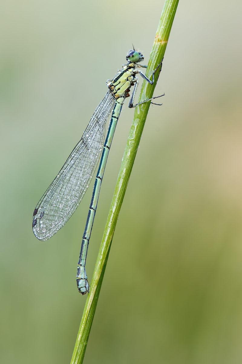 Hufeisen-Azurjungfer, weiblich